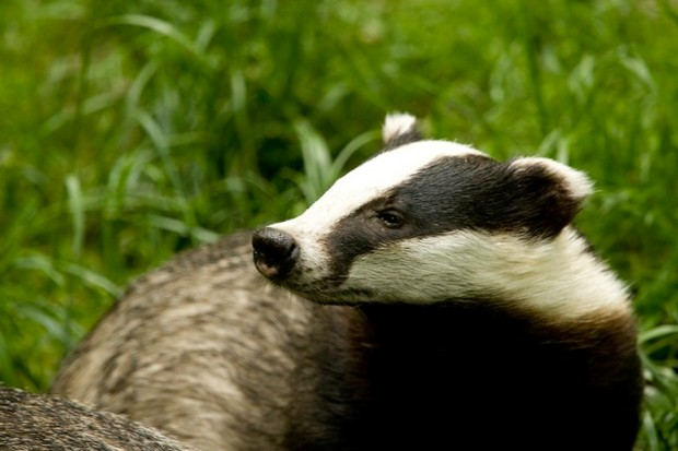 Badger Business: Badgers in Children's Literature in the 20th Century